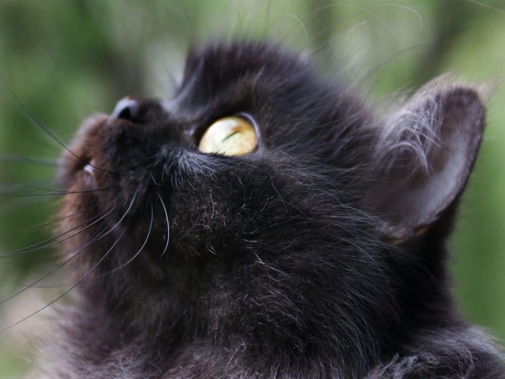gatto_nero_sfondo_1024x768